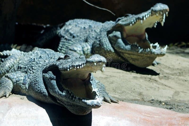 Dos cocodrilos están cociendo bajo luz del sol foto de archivo