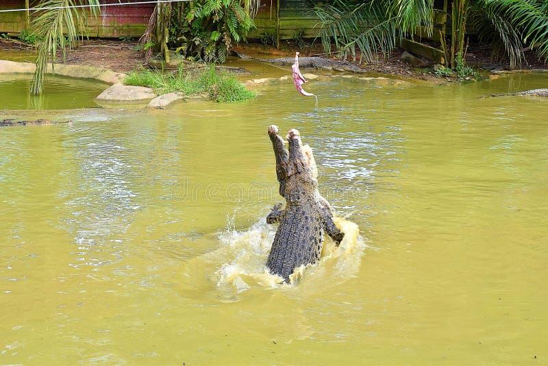 Dos cocodrilos grandes compiten el uno con el otro para romper la comida fotos de archivo
