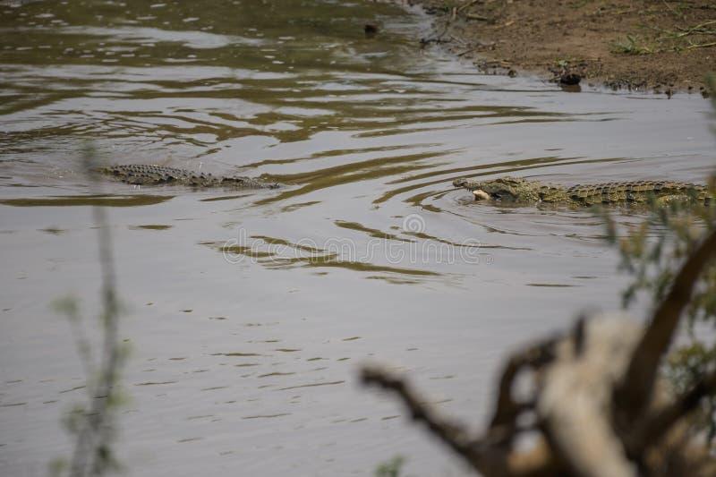 Dos cocodrilos que comen la presa, parque nacional de Kruger, Suráfrica imagen de archivo libre de regalías