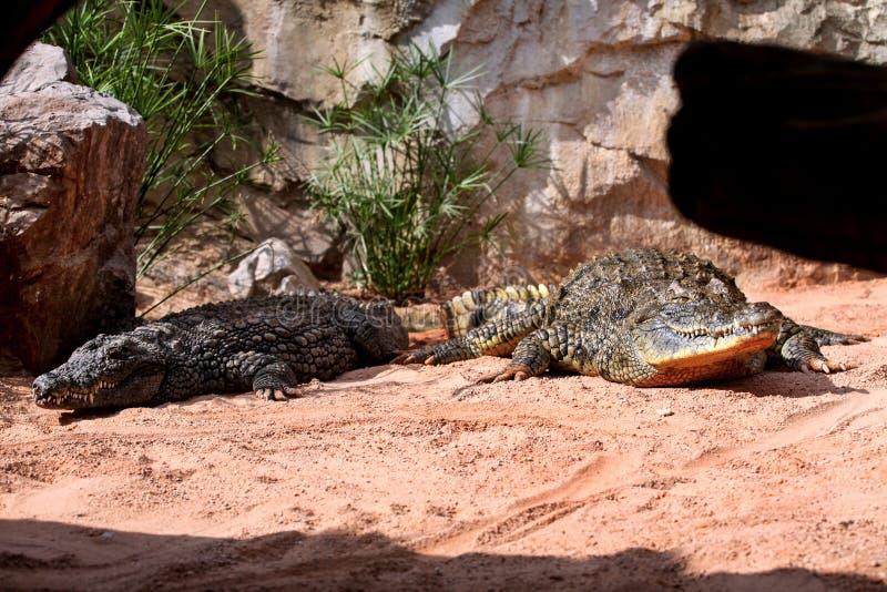 Dos cocodrilos siameses en el parque zoológico fotos de archivo
