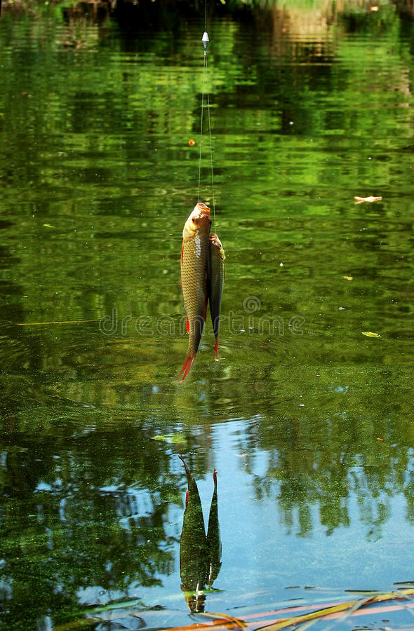 Dos cogieron el figh en la caña de pescar en el fondo de la superficie del lago fotos de archivo