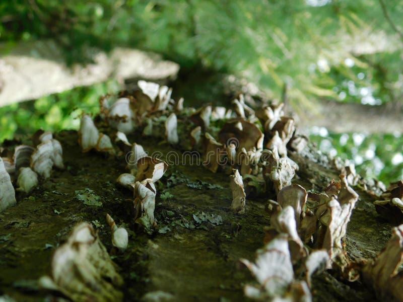 Dos cogumelos close-up realmente imagens de stock royalty free