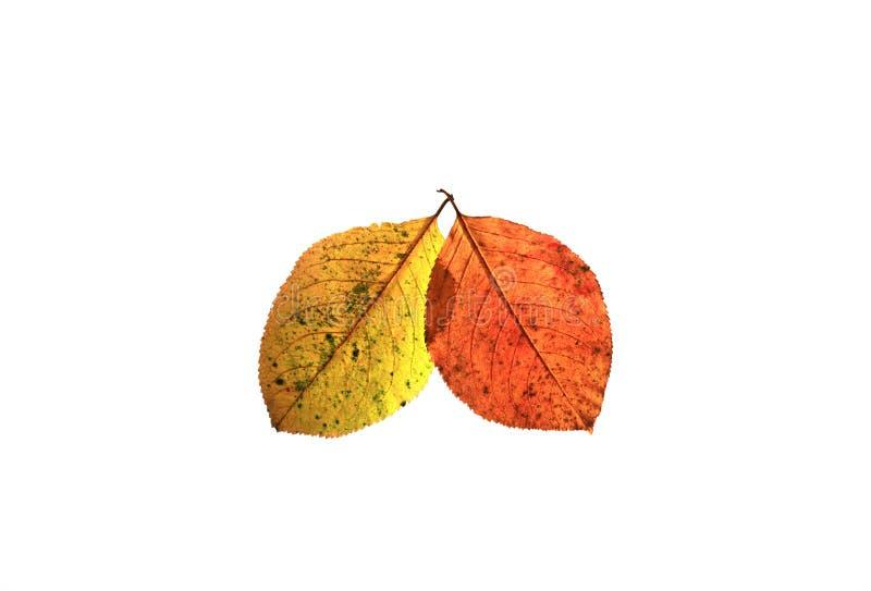 Dos colorearon la hoja del otoño en un fondo aislado blanco fotografía de archivo