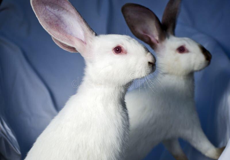 Dos conejos imagen de archivo