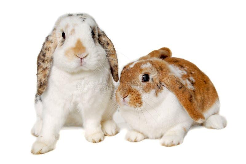 Dos conejos aislados en un fondo blanco fotografía de archivo libre de regalías