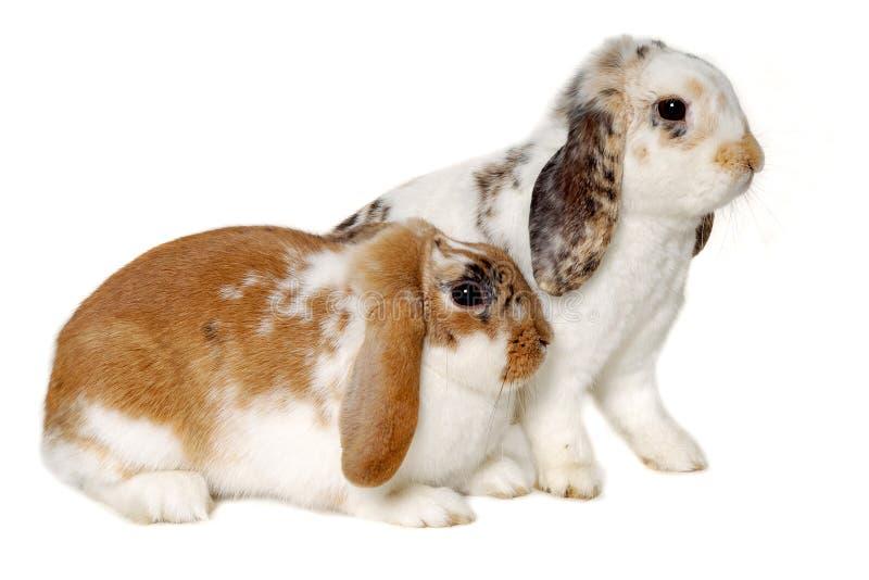 Dos conejos aislados en un fondo blanco foto de archivo