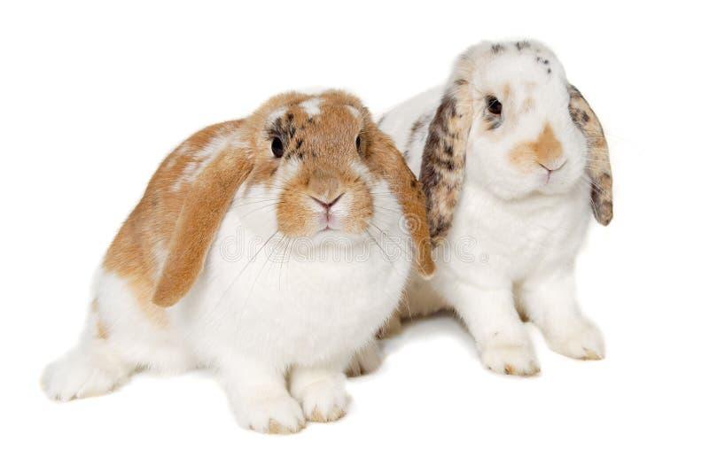 Dos conejos aislados en un fondo blanco fotos de archivo