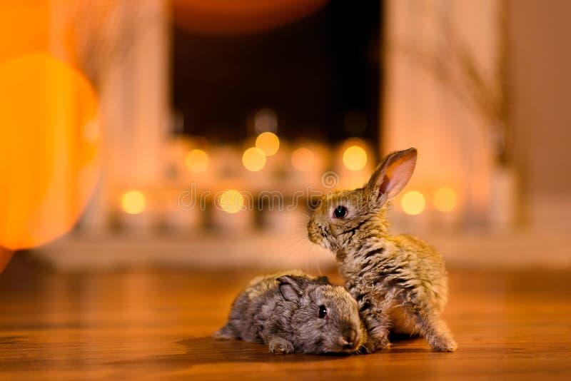 Dos conejos asustados en el piso imagenes de archivo