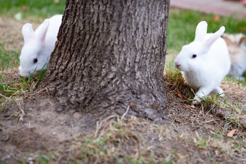 Dos conejos blancos imágenes de archivo libres de regalías