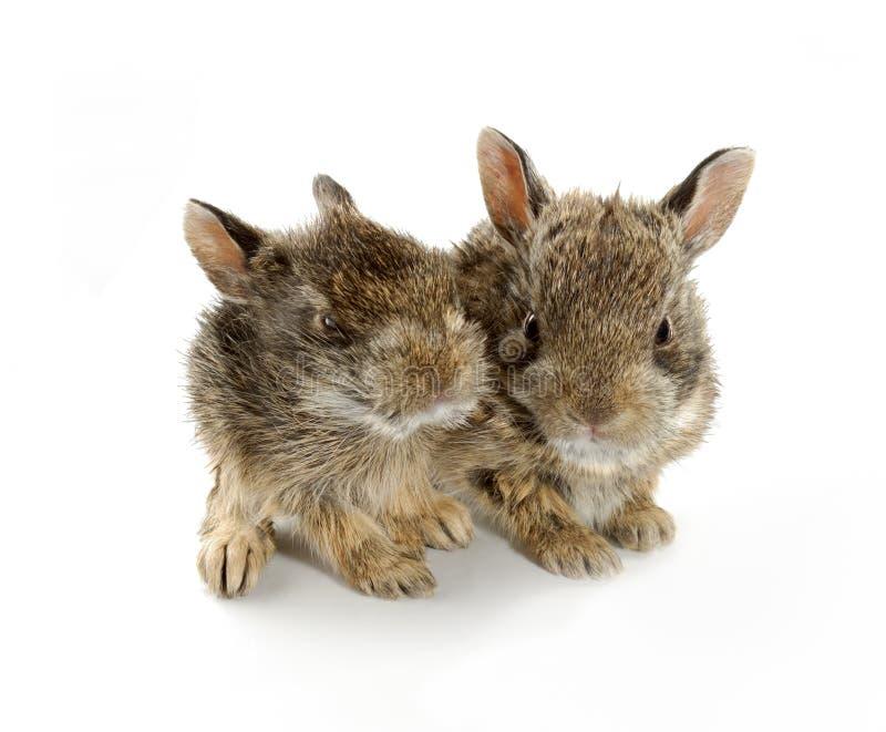 Dos conejos de conejito del bebé fotos de archivo libres de regalías