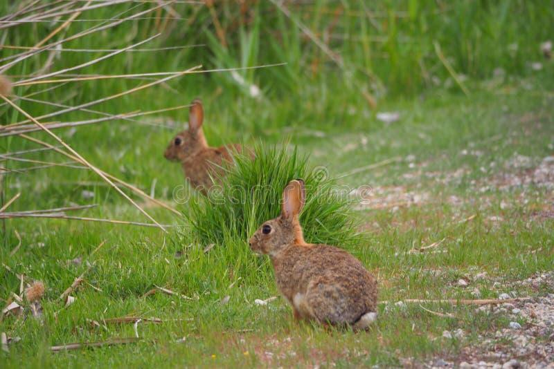 Dos conejos, en el lago de Ivars y de Vilasana, Lérida fotos de archivo