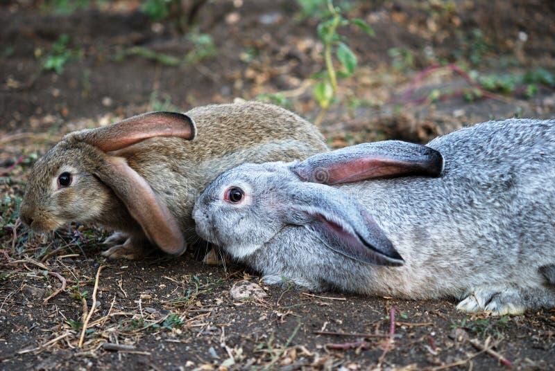 Dos conejos en la tierra imagen de archivo libre de regalías