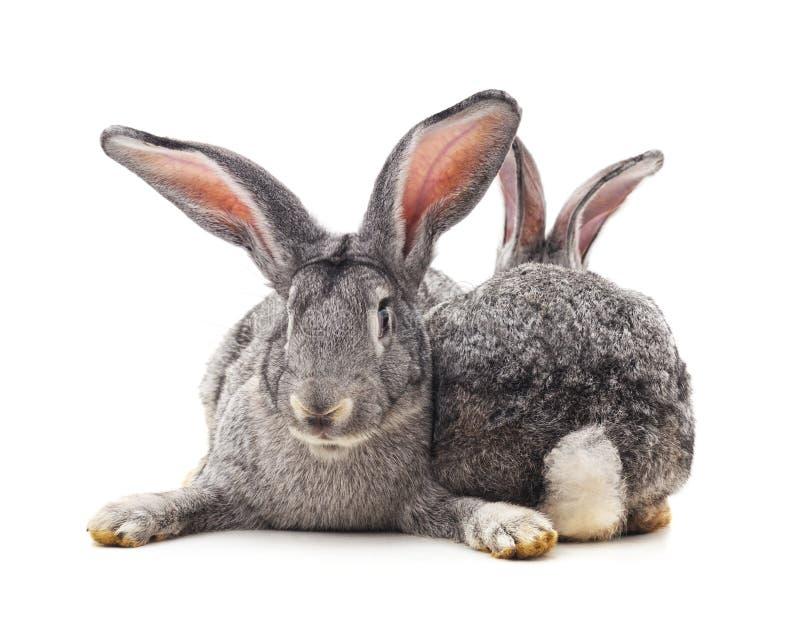 Dos conejos grises fotografía de archivo libre de regalías
