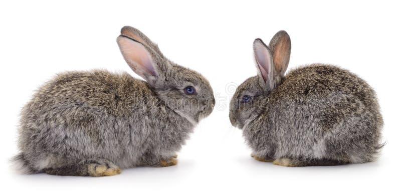 Dos conejos grises aislados imagenes de archivo