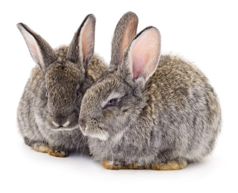 Dos conejos grises aislados imagen de archivo libre de regalías