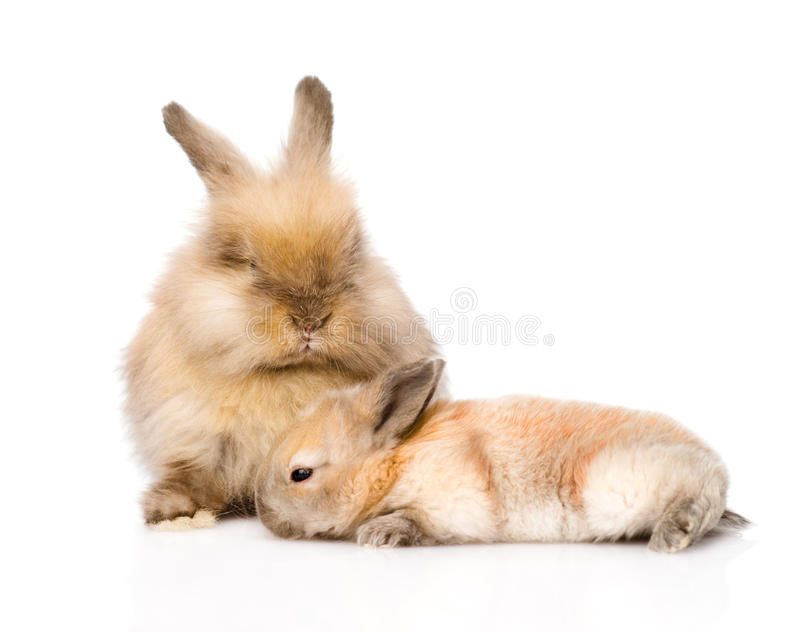 Dos conejos lindos Aislado en el fondo blanco fotografía de archivo libre de regalías