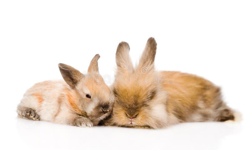 Dos conejos lindos en frente Aislado en el fondo blanco imágenes de archivo libres de regalías