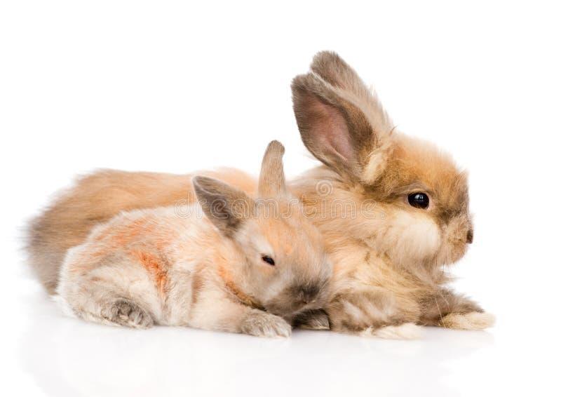 Dos conejos lindos en perfil Aislado en el fondo blanco imagen de archivo