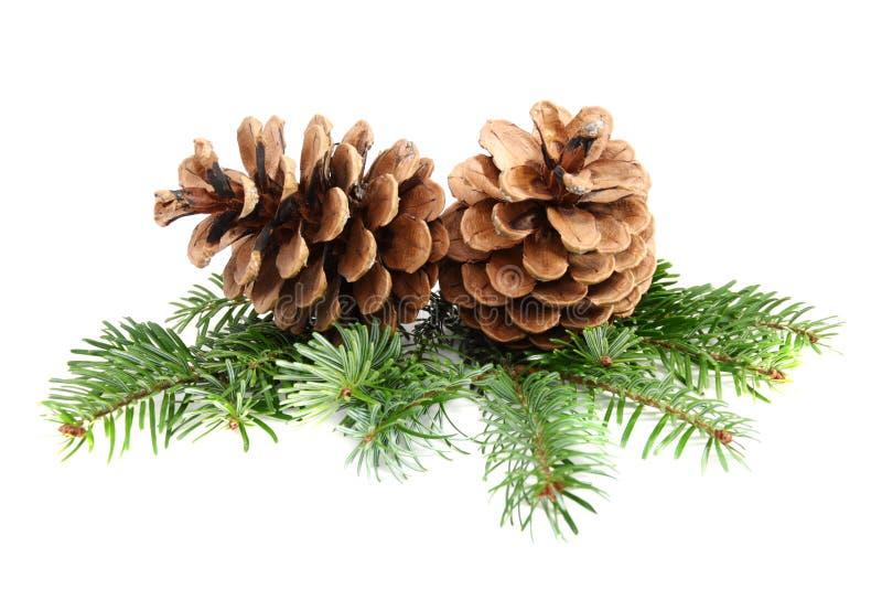 Dos conos del pino con la ramificación. imágenes de archivo libres de regalías