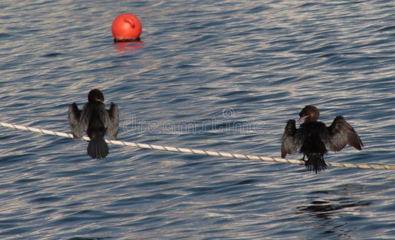 Dos cormoranes se están colocando en la cuerda fotografía de archivo libre de regalías