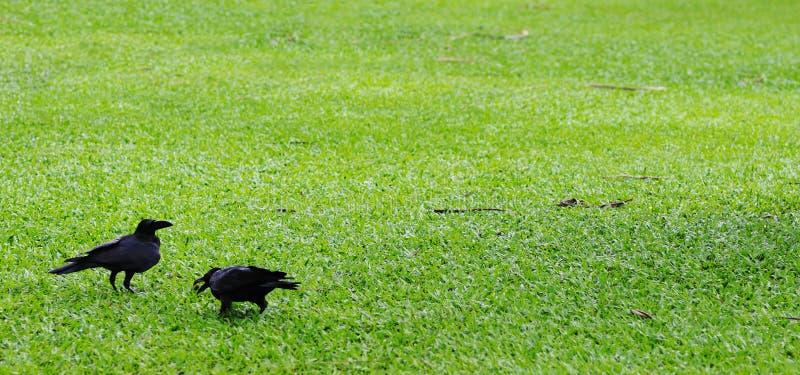 Dos cuervos. imagenes de archivo