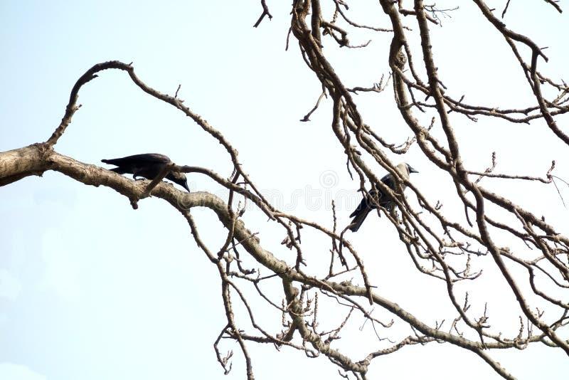 Dos cuervos de casa adentro encaramados en un árbol imagenes de archivo