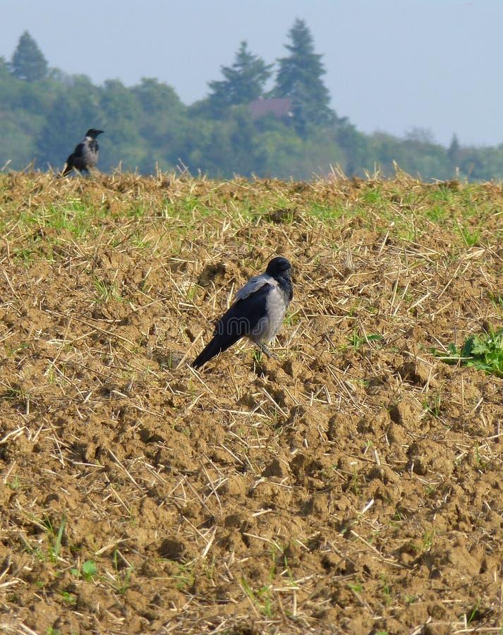 Dos cuervos en el campo arado imagenes de archivo