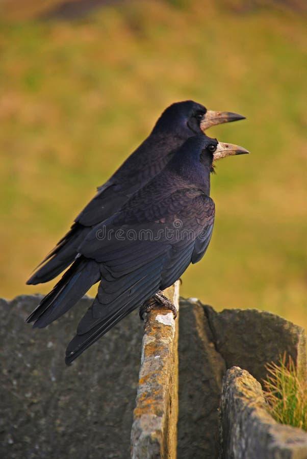 Dos cuervos que descansan sobre piedra fina foto de archivo