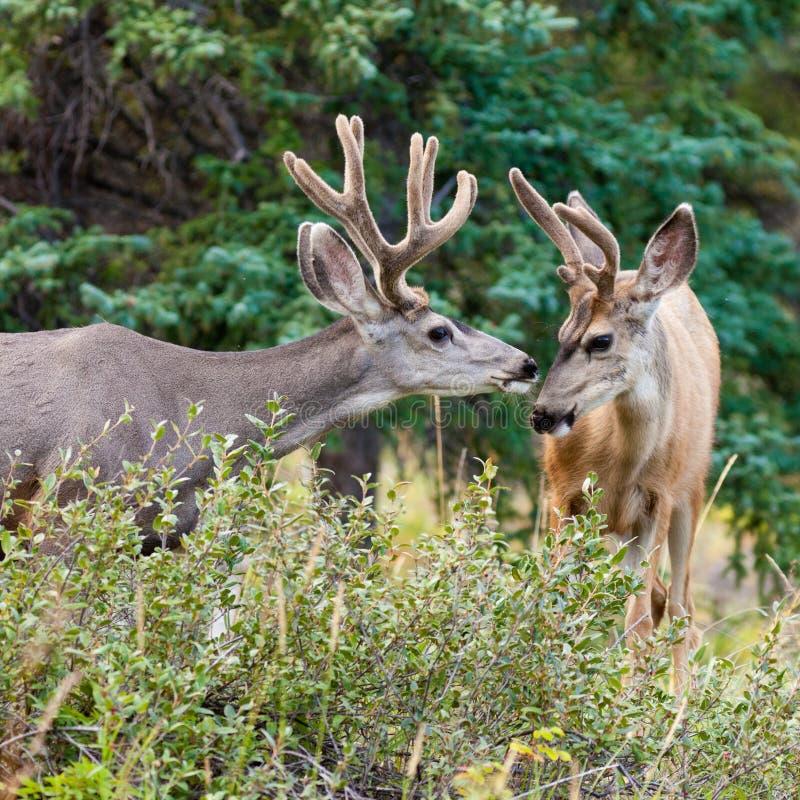 Dos dólares de los ciervos de mula con las cornamentas del terciopelo obran recíprocamente foto de archivo