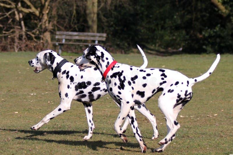 Dos Dalmatians que corren en el parque fotos de archivo