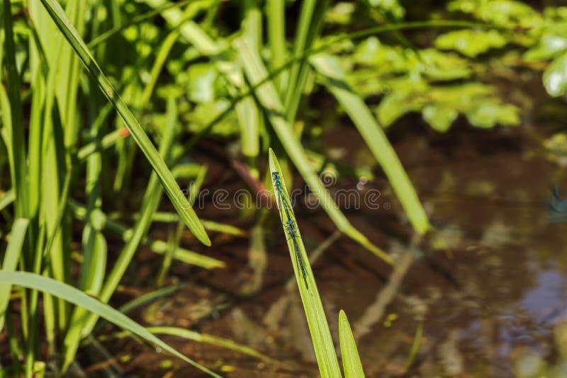 Dos damselflies azules que se sientan detrás de uno a en una cuchilla de la hierba foto de archivo libre de regalías