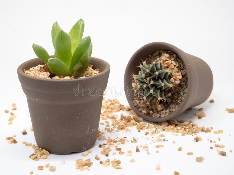 Dos de cactus imágenes de archivo libres de regalías