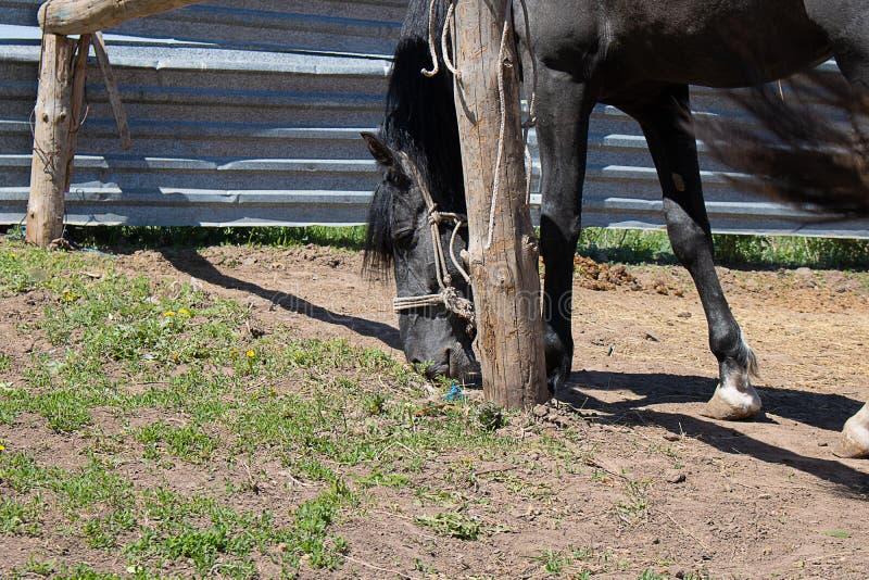 Dos de cheval, poulain mangeant l'herbe avec la longue crinière photographie stock