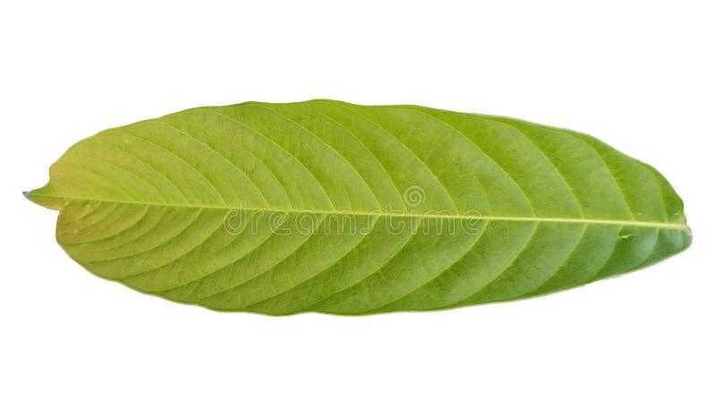 Dos de feuillage vert tropical sur les milieux blancs illustration libre de droits