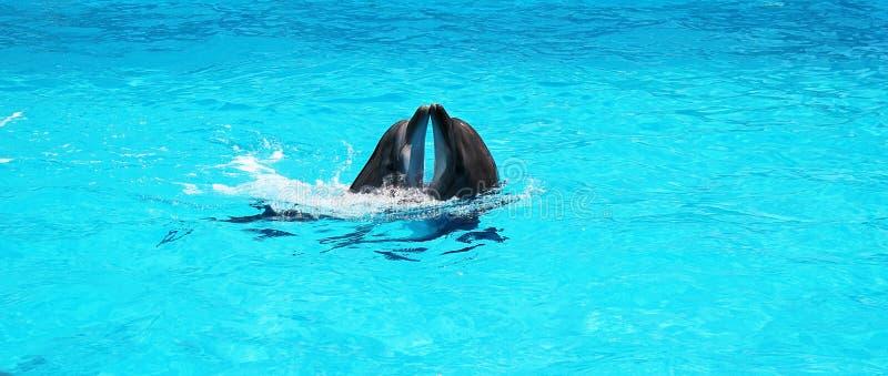 Dos delfínes que juegan junto en un agua azul clara de la piscina fotos de archivo libres de regalías