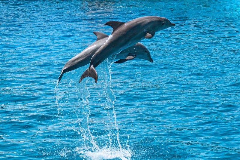 Dos delfínes saltan por encima de la superficie fotos de archivo libres de regalías