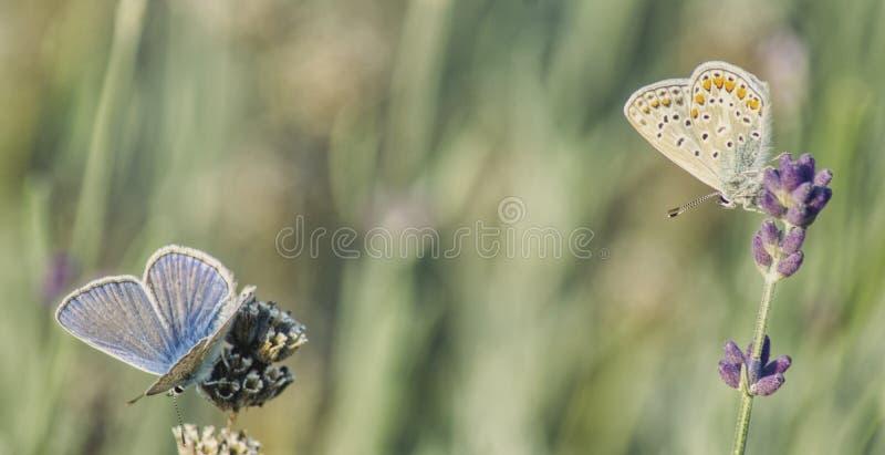 Dos diversas mariposas que se sientan en las ramas de la lavanda imagen de archivo