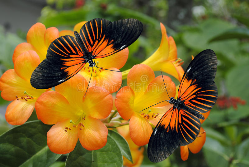 Dos Doris Longwing Butterflies fotos de archivo libres de regalías