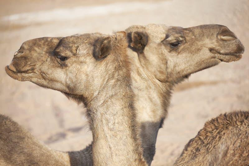 Dos dromedarios (camello). fotografía de archivo