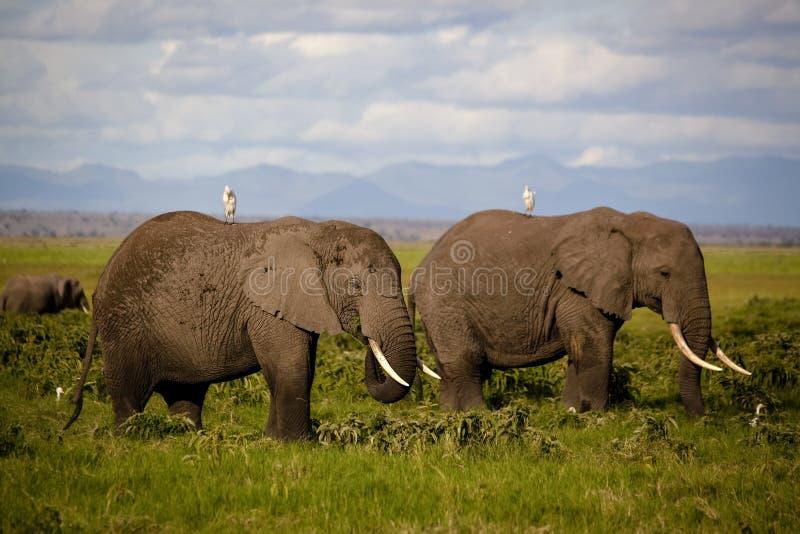 Dos elefantes africanos con las garcetas de ganado encendido apoyan foto de archivo