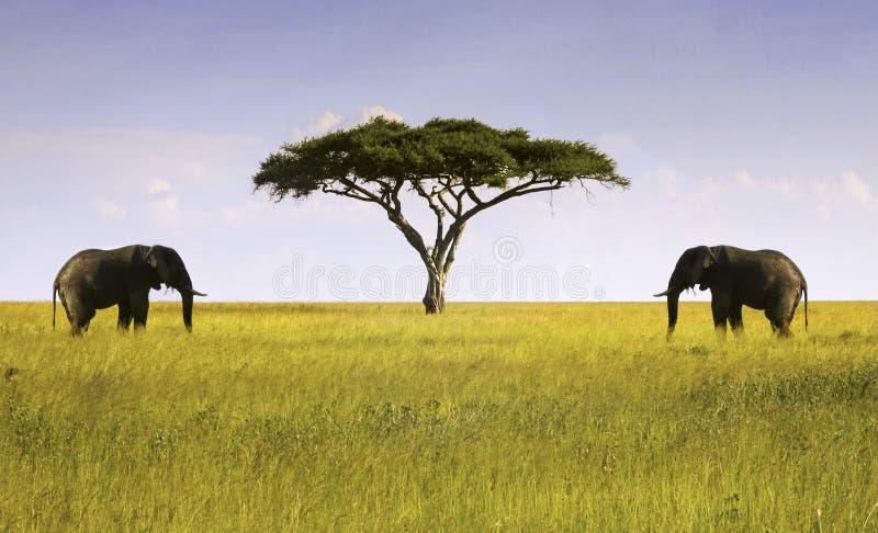 Dos elefantes aislaron al africano Savannah Serengeti Tanzania del árbol del acacia fotos de archivo libres de regalías