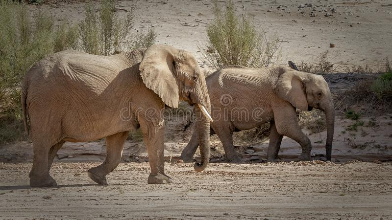 Dos elefantes del desierto que caminan imagenes de archivo