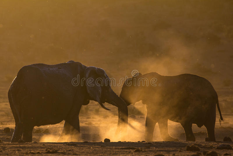 Dos elefantes que se saludan en arbusto africano polvoriento foto de archivo libre de regalías