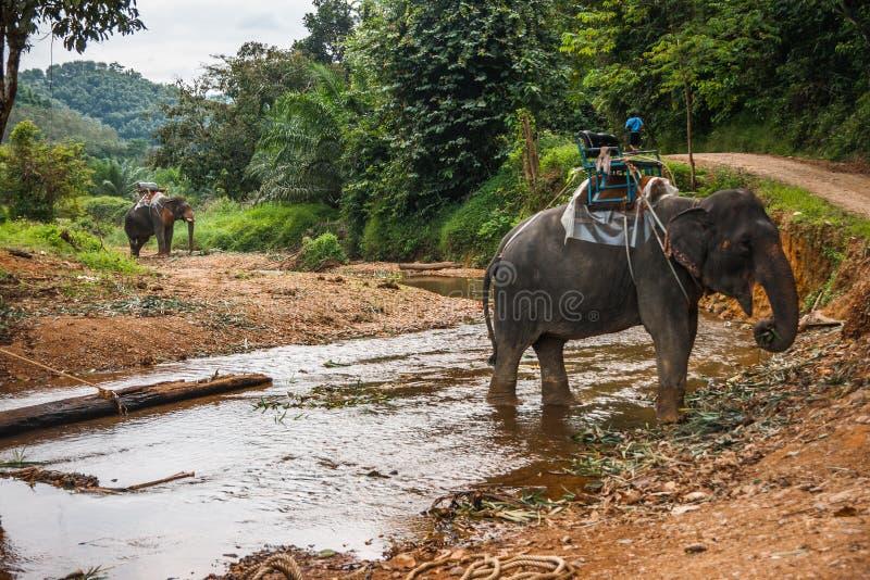 Dos elefants que cruzan el río en la selva tropical del santuario de Khao Sok, Tailandia fotografía de archivo libre de regalías