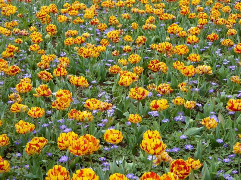 Dos entonaron tulipanes anaranjados y rojos y la floración púrpura de los asteres foto de archivo