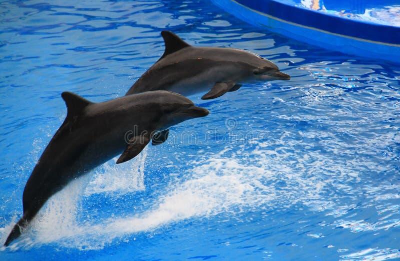 Dos entrenaron a delfínes fotografía de archivo libre de regalías