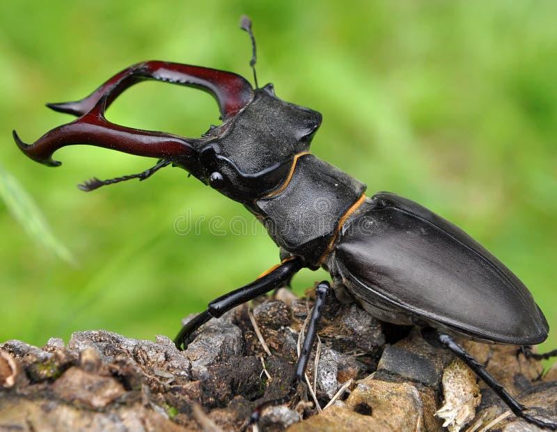 Dos escarabajos de macho imágenes de archivo libres de regalías