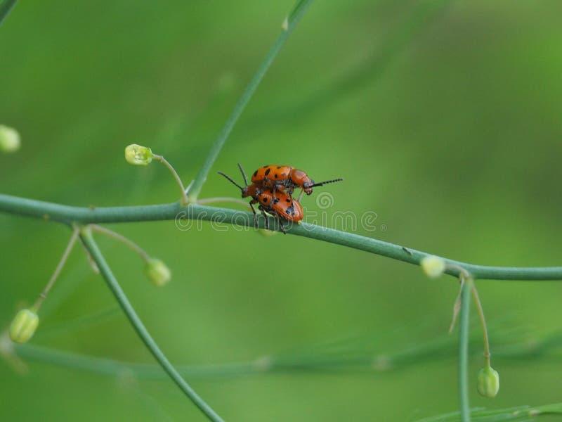 Dos escarabajos son parásitos en una rama en un día soleado fotografía de archivo libre de regalías