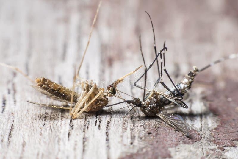 Dos especies de causa de los mosquitos de la dengue y de la malaria imágenes de archivo libres de regalías
