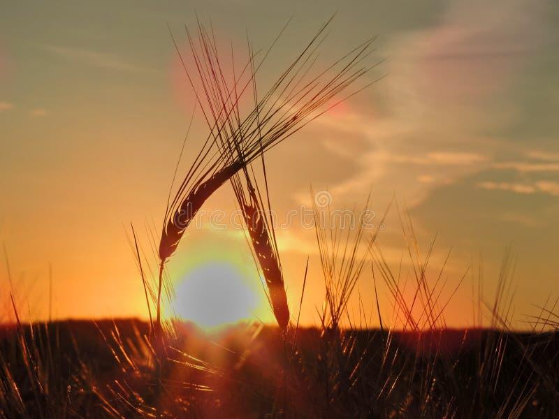 Dos espiguillas dobladas el uno al otro en la puesta del sol imagenes de archivo